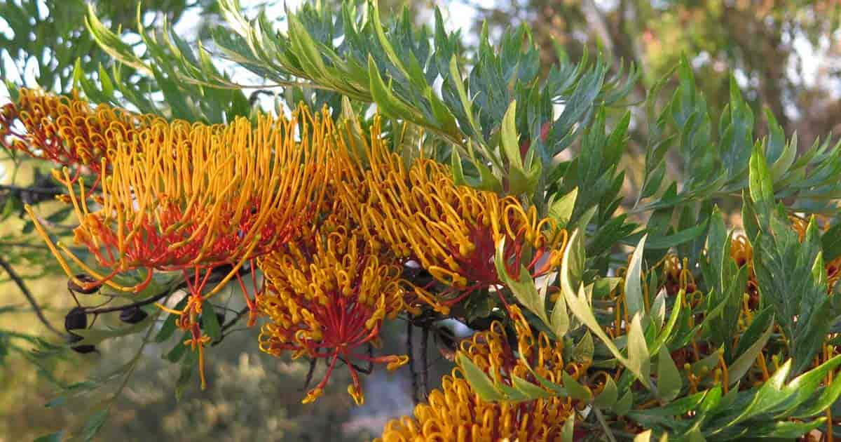 Flowering Silk Oak Tree - Grevillea Robusta