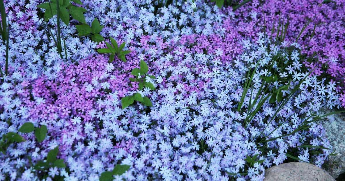 Ground cover plants for Ground cover plant with purple flowers