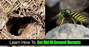 ground hornets nest picture