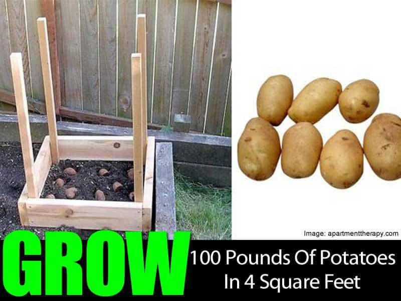 grow-100-pounds-potatoes-063014