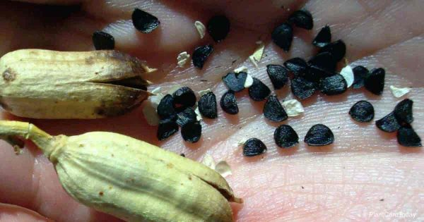 seeds of agave plants