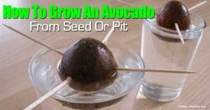 growing an Avocado from a seed or pit