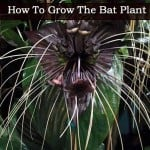Bat Flower Plant – How To Grow And Care For Tacca [BAT PLANTS]