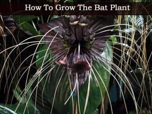 Bat Plant Flower – How To Grow And Care For Tacca [BAT PLANTS]