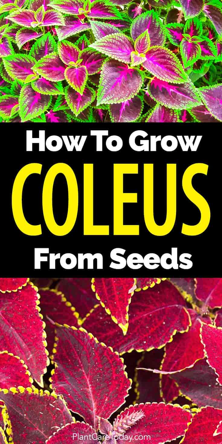 learn to grow colorful coleus from seed