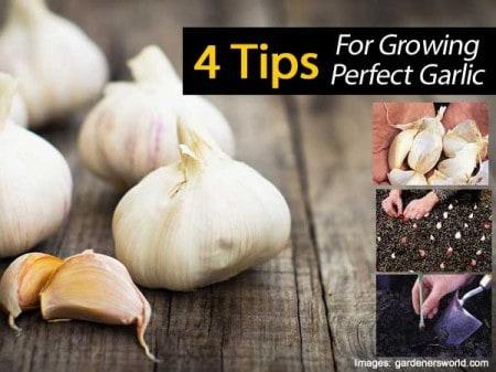 grow-garlic-033114