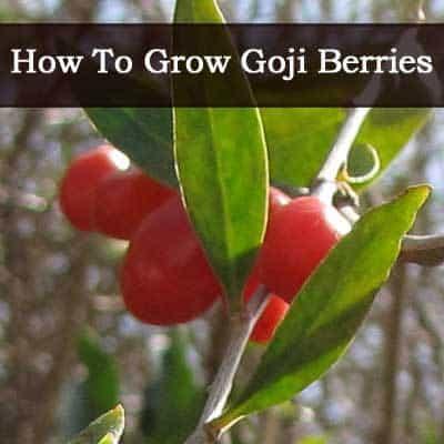 How To Grow Goji Berries Video