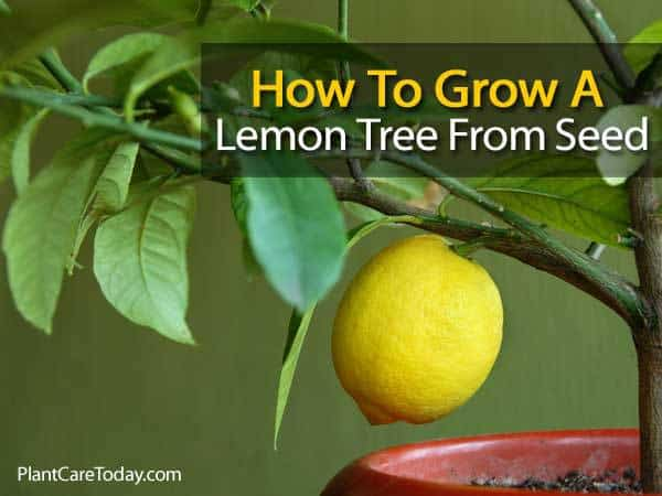 growing a lemon tree from seed