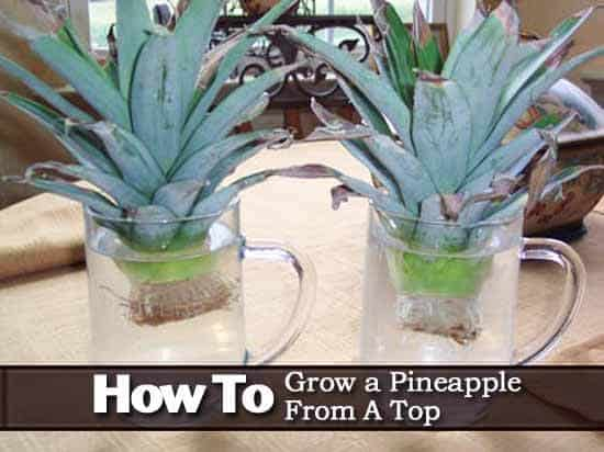 How to grow a pineapple top in water for Plant pineapple top