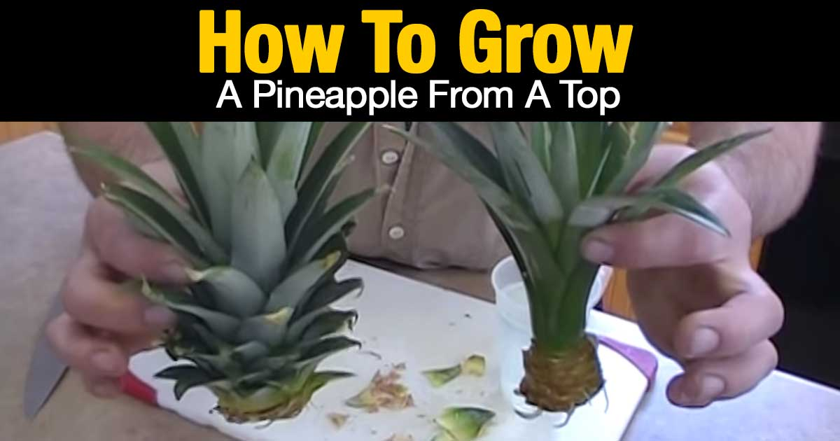 how to grow a pineapple top in water. Black Bedroom Furniture Sets. Home Design Ideas