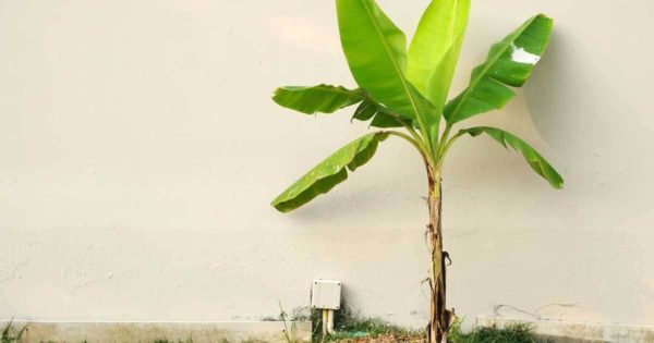 banana plant adds a tropical feel to any environment
