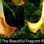 Angel Trumpet: How To Grow And Care For Brugmansia