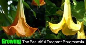 Blooming Brugmansia - Angel Trumpet