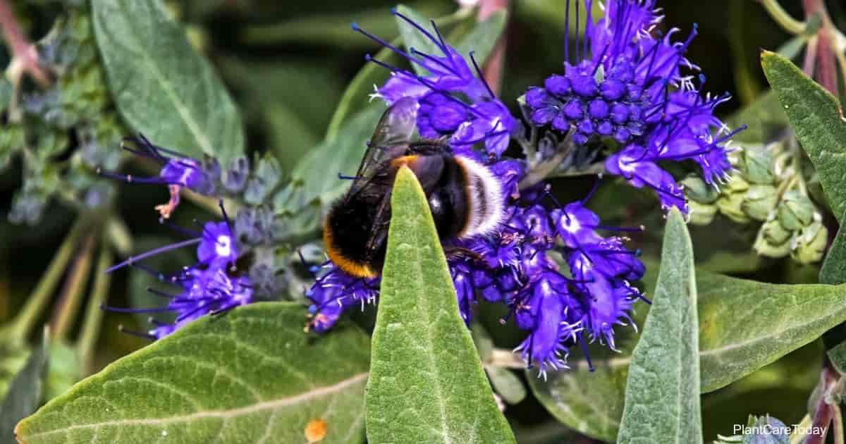 Purple blooming Caryopteris clandonensis