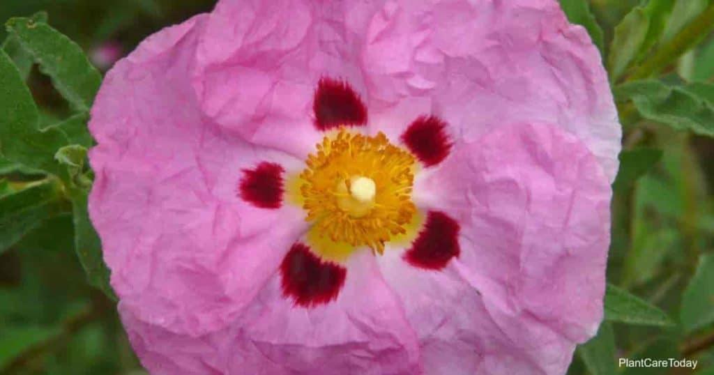 Flowering Cistus purpureus