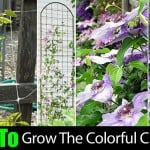 Clematis Vine: How To Care For The Clematis Flower