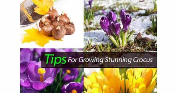 Flowering Crocus bulbs