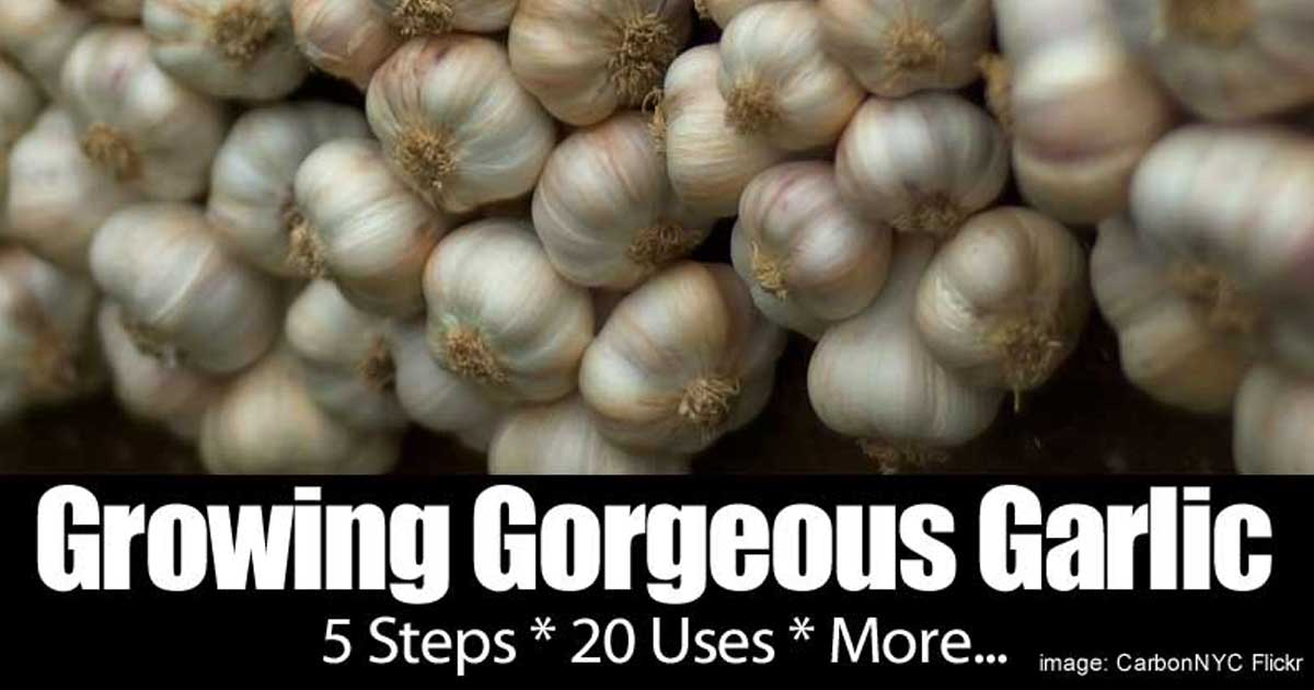 growing garlic 5 steps