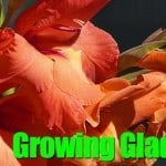 How To Tips On Digging, Planting and Growing Gladiolus Bulbs