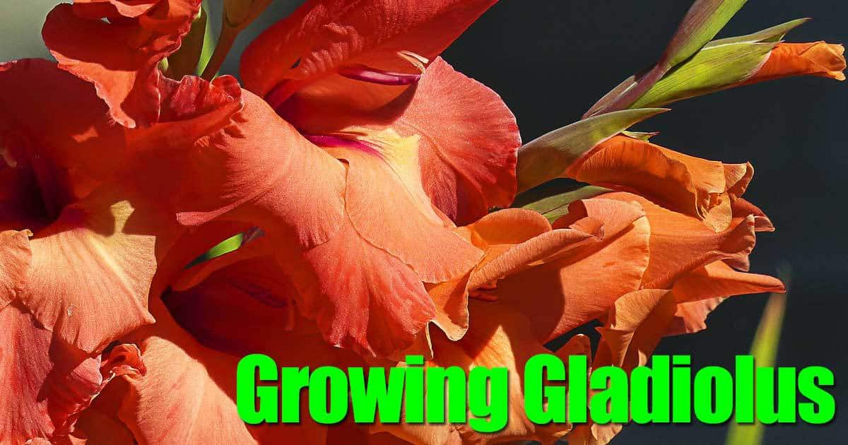 growing-gladiolus-09302015