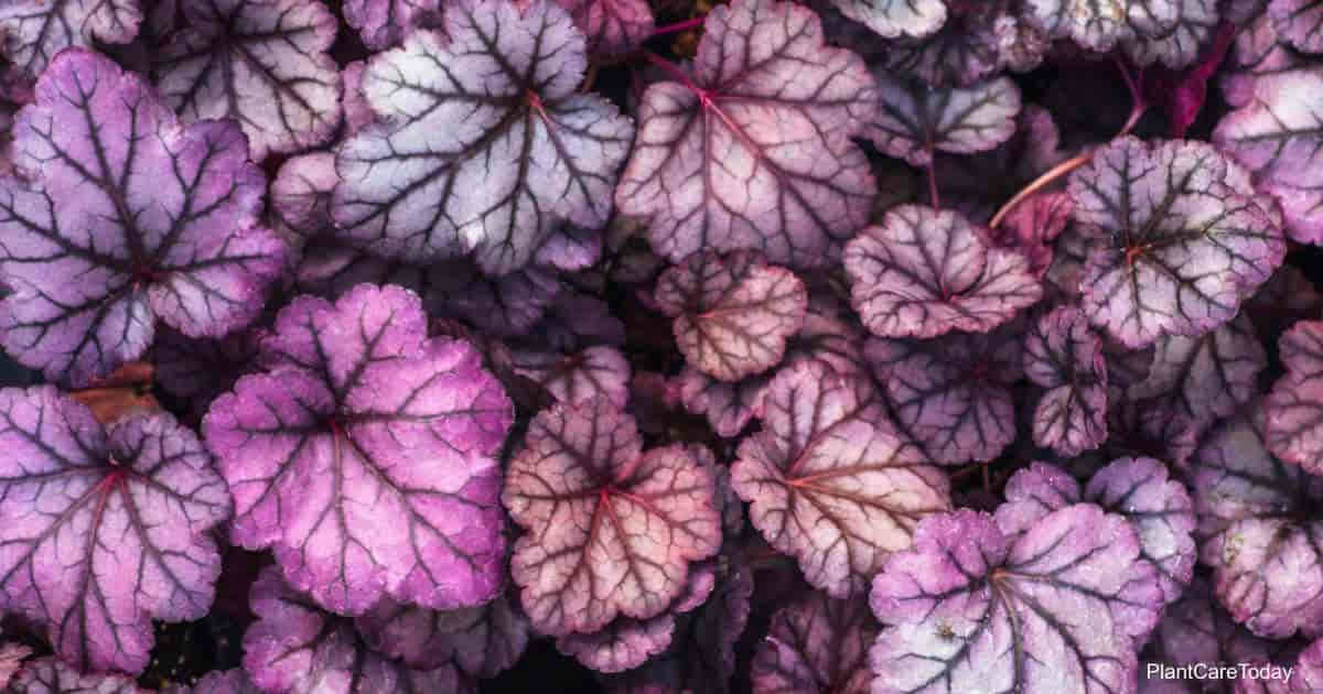 Colorful leaves of the Heucherella plant