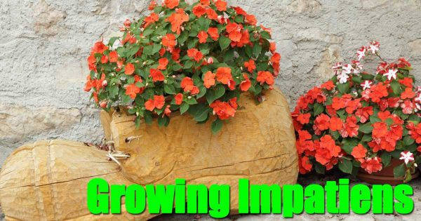 flowering Impatiens plants