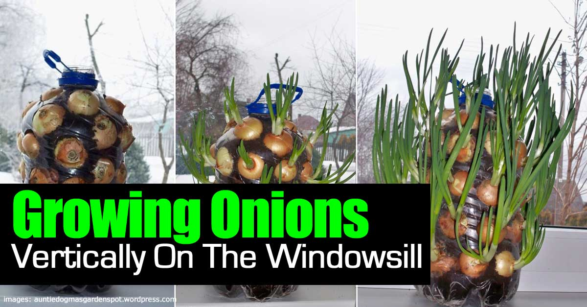 growing-onions-vertically-093014