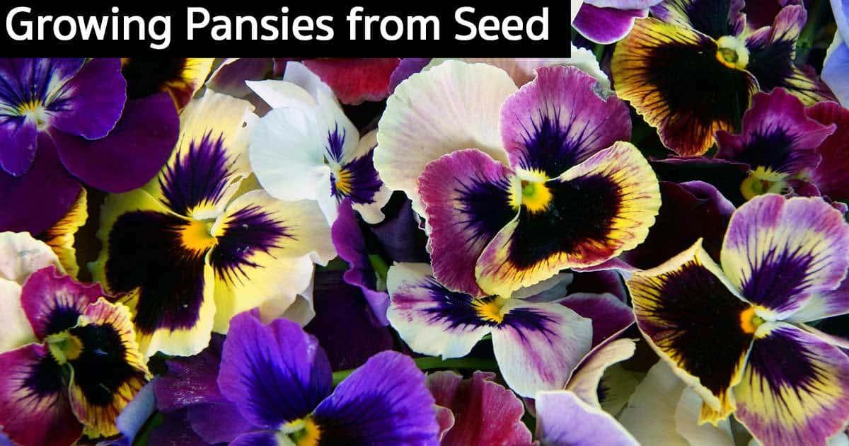 growing-pansies-seed-09302015