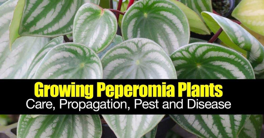 peperomia plant that looks like watermelon