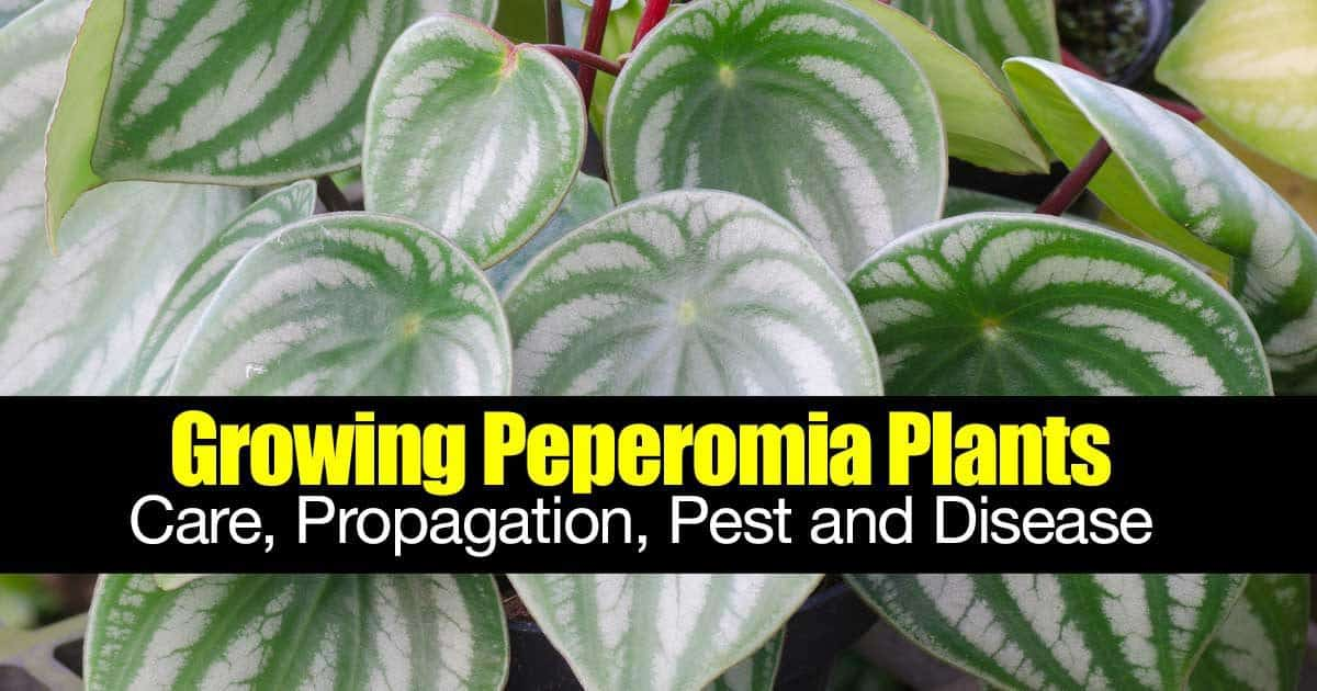 Growing Peperomia Plants: Care, Propagation, Pest And Disease