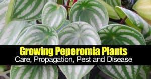 Peperomia Care: How To Grow And Propagate Peperomia Plants