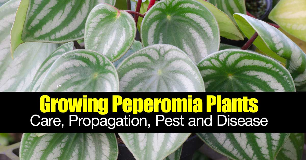 peperomia plant that looks like watermelon