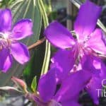 How To Grow and Care For The Tibouchina Tree