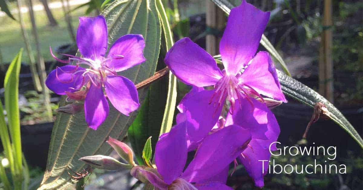 growing tibouchina tree in flower