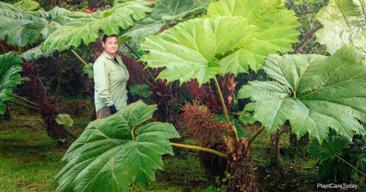 Large leaves of the Gunnera Giant Leaf Plant