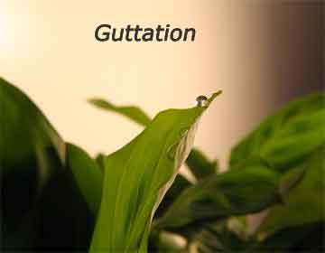 guttation
