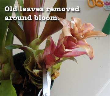 guzmania-flower-exposed