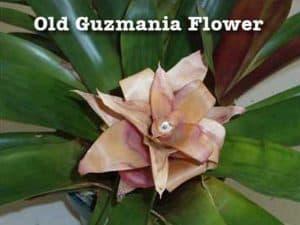 fading Guzmania Bromeliad flower