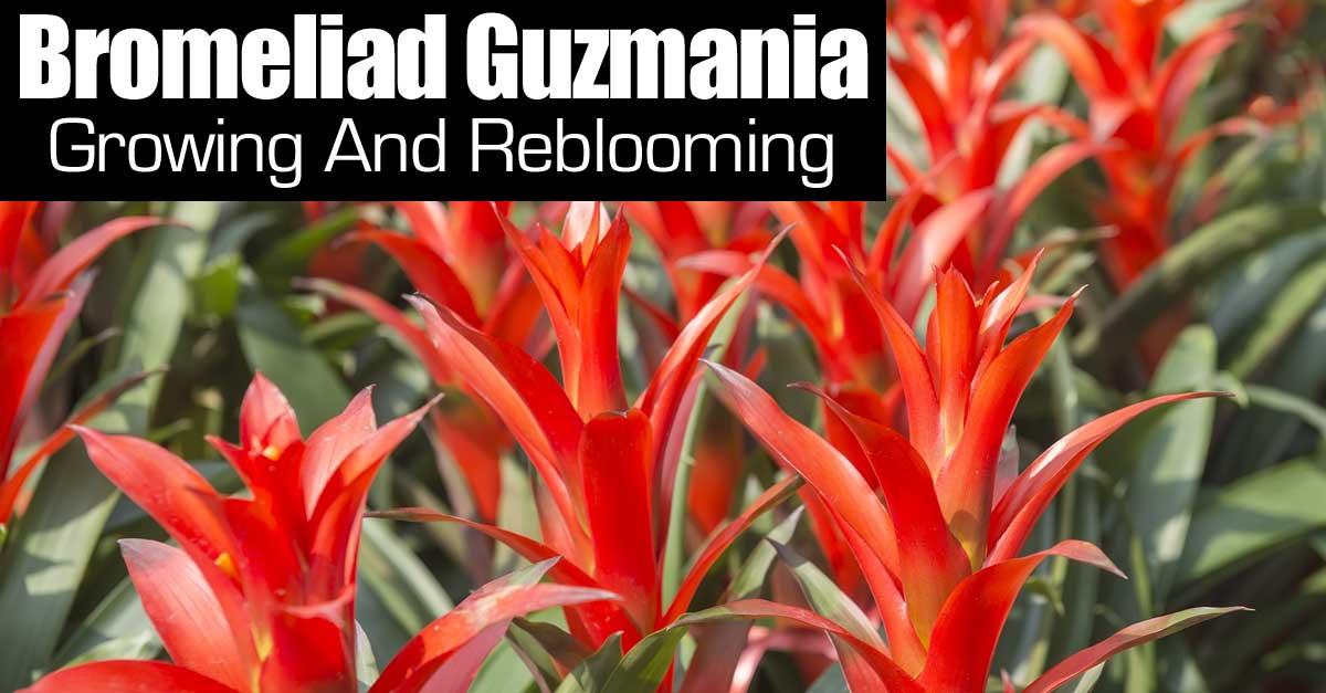 Reblooming Bromeliads How To Grow And Rebloom Your Guzmania