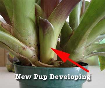 guzmania-new-pup