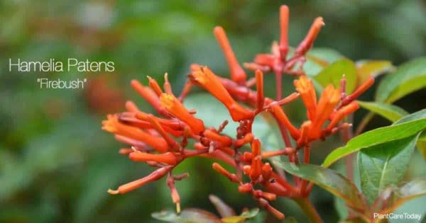 Red-Orange Blooming Hamelia Patens (firebush)