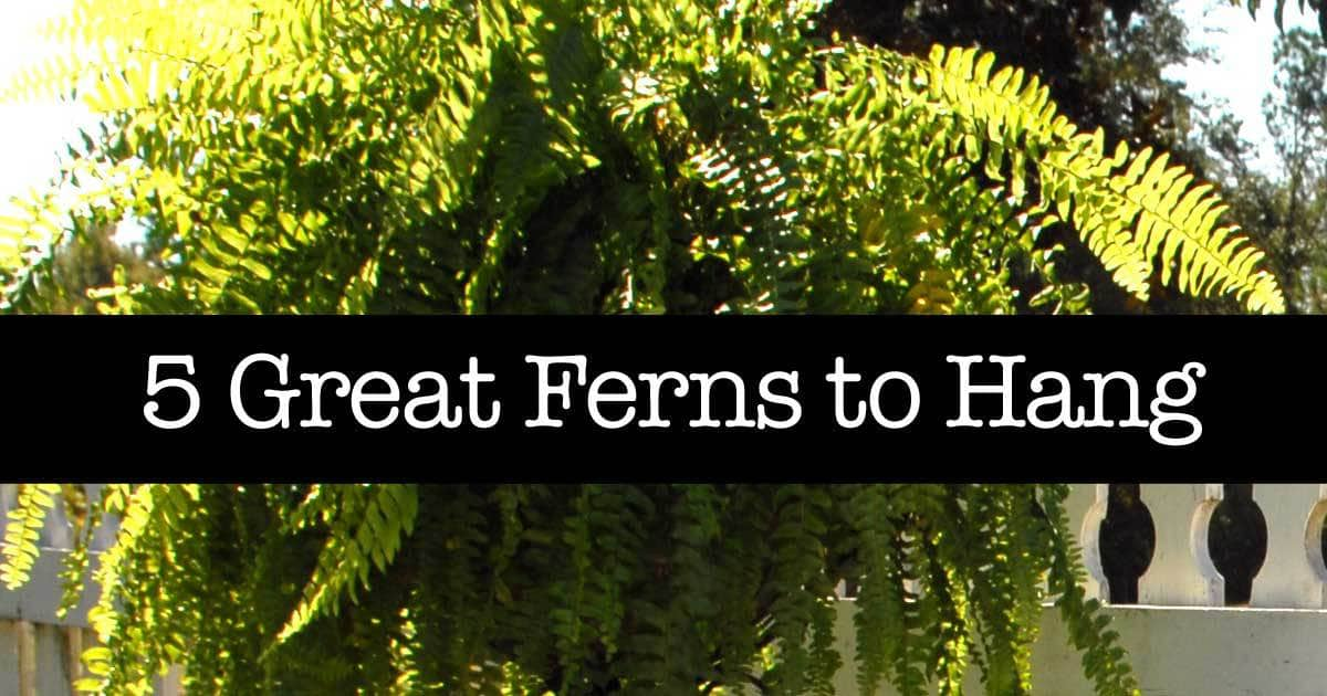 5 Great Ferns To Hang