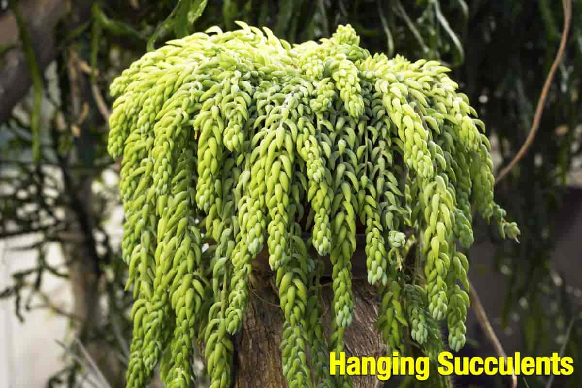 hanging succulents - the popular Sedum morganianum - Burro's Tail or Donkey tail