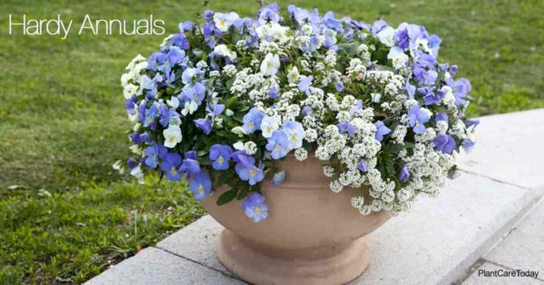Clay pot of Brilliant white Alyssum with blue violet - hardy annuals