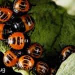 colony of Harlequincabbage bug