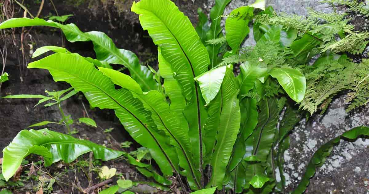 growing harts tongue fern