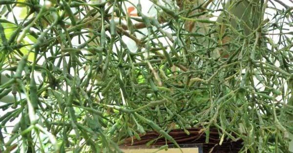 Hatiora salicornioides - Dancing Bones Cactus