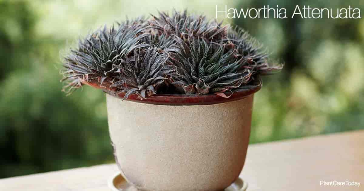 Potted Haworthia Attenuata aka Zebra Cactus