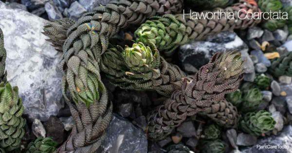 The unique Haworthia Coarctata