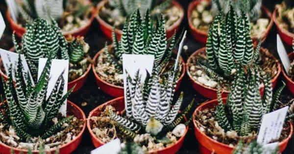 potted Haworthia (Haworthiopsisfasciata)